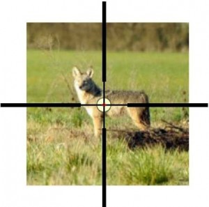 An easy 50 yard shot with a scope or iron sights. Coyote picture credit: US Fish and Wildlife Service