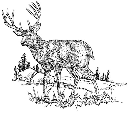 Figure 1. Deer. Weights range from about 90 lb (40 kg) for does in the southern US to averages as high as 350 lb (160 kg) or more for bucks in northern states. This broad weight range leads to significant confusion about what deer rifle cartridge is best. Line drawing courtesy of Pearson Scott Foresman (http://openclipart.org/people/papapishu/Deer_2_.svg)