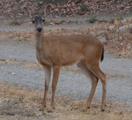 Figure A-1. It is antlerless season and you have proper license and tags. Where would you aim when this beauty presents her shoulder to you?